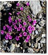 Lavender In The Rocks Acrylic Print
