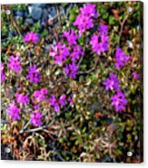 Lavender In The Wild Acrylic Print
