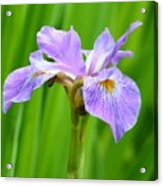 Lavender Iris Acrylic Print
