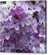 Lavender Lilacs Acrylic Print