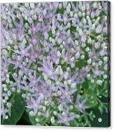 Lavender Lovelies Acrylic Print