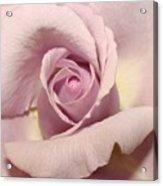 Lavender Mini Rose Acrylic Print