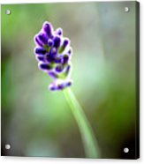 Lavender Moments Acrylic Print