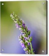 Lavender Acrylic Print