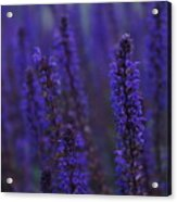 Lavender Night Acrylic Print
