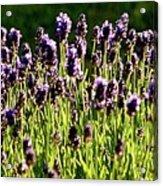 Lavender Pano Acrylic Print