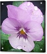 Lavender Pansy And Rain Acrylic Print