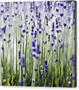 Lavender Patterns Acrylic Print