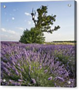 Lavender Provence  Acrylic Print
