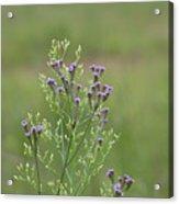 Lavender Purple Verbena Wildflowers  Acrylic Print
