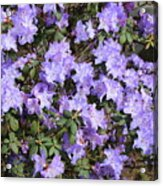 Lavender Rhododendrons Acrylic Print