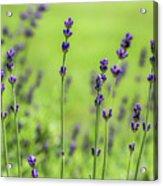 Lavender Spikes  Acrylic Print