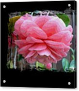 Layers Of Pink Camellia Dream Acrylic Print