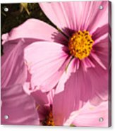 Layers Of Pink Cosmos Acrylic Print