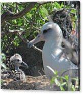 Laysan Albatross Chick Acrylic Print