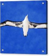 Laysan Albatross Acrylic Print