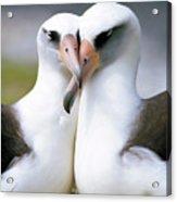 Laysan Albatross Phoebastria Acrylic Print