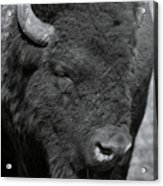 Lazy Buffalo Acrylic Print by Clinton Nelson