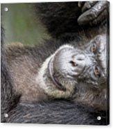 Lazy Chimp - Lowry Park Zoo Acrylic Print