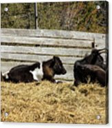 Lazy Cows And Weathered Wood Acrylic Print