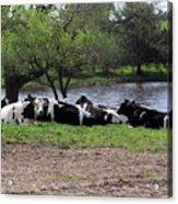 Lazy Cows Acrylic Print