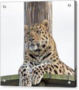 Lazy Leopard Acrylic Print