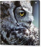 Lazy Owl Acrylic Print