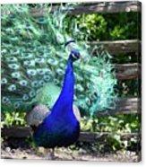 Le Peacock Acrylic Print