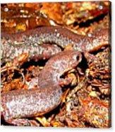 Leadback Salamander Pair Acrylic Print