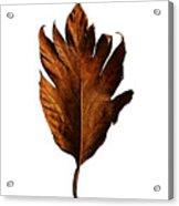 Leaf 0787 Acrylic Print