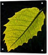 Leaf Aglow Acrylic Print