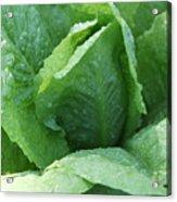 Leaf Lettuce Part 3 Acrylic Print