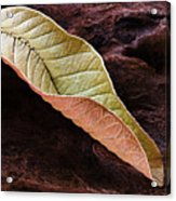 Leaf On Log- St Lucia Acrylic Print