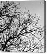 Leafless Twig Acrylic Print