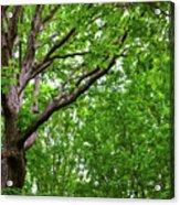 Leafy Canopy Acrylic Print