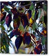 Leafy Light Show Acrylic Print