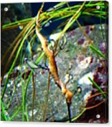 Leafy Sea Dragon  Acrylic Print