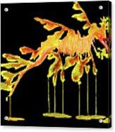 Leafy Sea Dragon On Black Acrylic Print