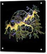 Leafy Sea Dragons Acrylic Print