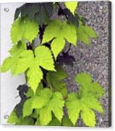 Leafy Vine Acrylic Print