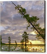 Leaning Cypress Acrylic Print