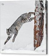 Leapin Bobcat Acrylic Print