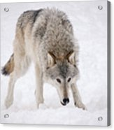 Leary Wolf Style Acrylic Print