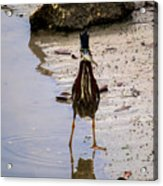 Least Bittern With A Fish Acrylic Print