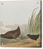 Least Water Hen Acrylic Print