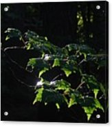 Leaves In Filtered Light  Acrylic Print