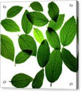 Leaves on White Acrylic Print