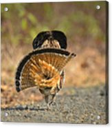 Leaving The Scene Grouse Acrylic Print
