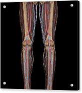 Leg Blood Supply Acrylic Print