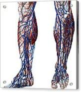 Leg Blood Vessels, Anatomical Acrylic Print